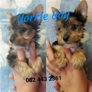 Yorkie pocket female and boy
