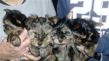 4 male yorkie pups for sale