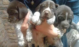 GSP puppies