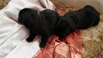 Beautiful Black Pug Puppies