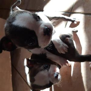 2 Female Boston Terrier Puppies