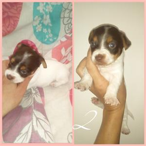 Beautiful Jack Russell X Yorkie puppies for sale. And female Jack Russell free to a good home due to emigration.