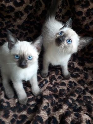 Gorgeous Siamese kittens for sale