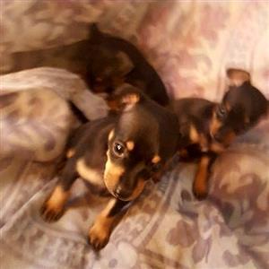 Miniature Doberman Pincher pocket size puppies