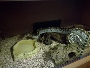 Butter ball python with complete setup + detachable feeding/breading cage