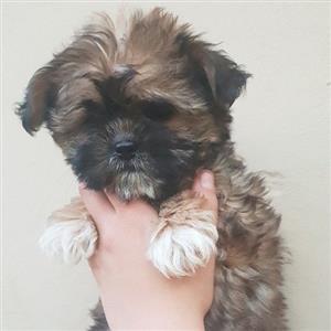 shih tzu female puppy