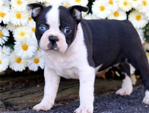 Boston Terrier Puppies. KUSA Registered