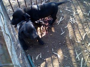 German shepherd X Labrdor puppies