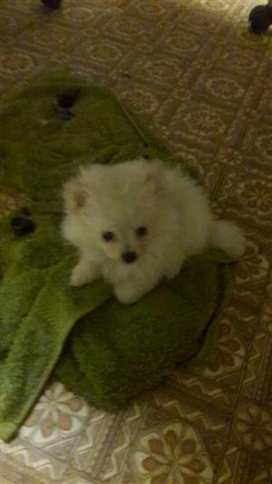 Pomeranian male and female puppies