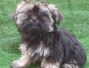 Yorkshire Terrier x peke pups.