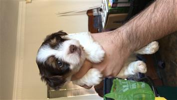Yorkie puppy (biro)
