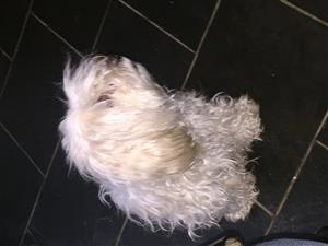 Adult female maltese available to good home