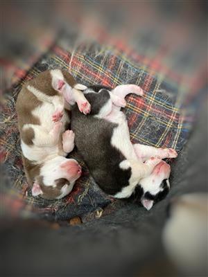 Husky puppy's