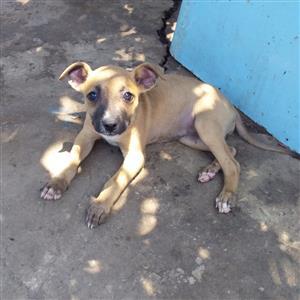 Labrador crossed Shepard female puppy
