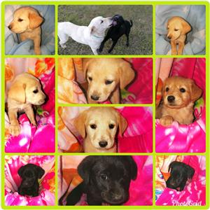 Black and golden Labrador puppies for sale