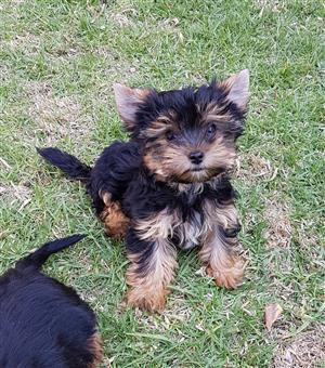 Pocket size Male Yorkie puppy