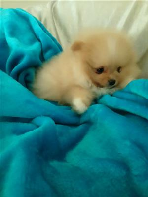 Pomeranian toy pom miniature puppies for sale