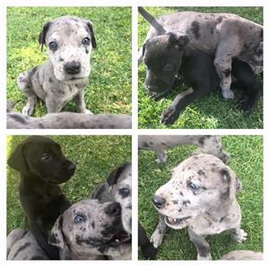 4 GreatDane Merlequin puppies