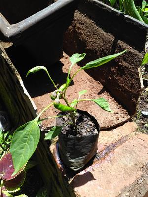 Organically grown Cayenne Pepper