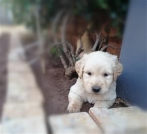 Beautiful golden retriever puppies for sale