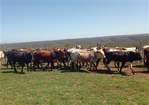 Healthy Nguni Cattle and Calves