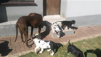 Great Dane puppies for sale @R2300