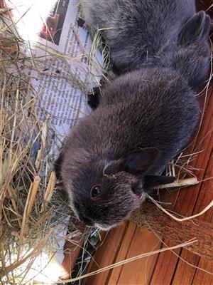 Dwarf Netherlands bunnies babies for sale