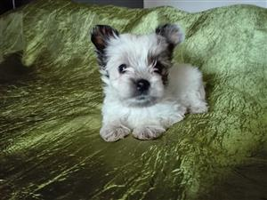 Beautiful white ocean pearl and biewer yorkshire terrier puppies