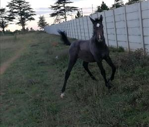 Stunning grey SA Warmblood filly for sale or to swap