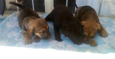 Alsation X Labrador puppies