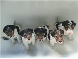 Wire Haird Fox Terrier Puppies