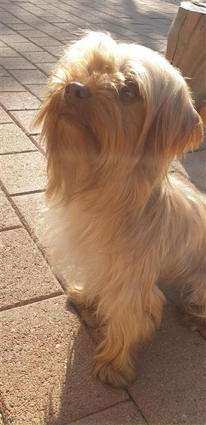 Purebred Yorkshire Terrier