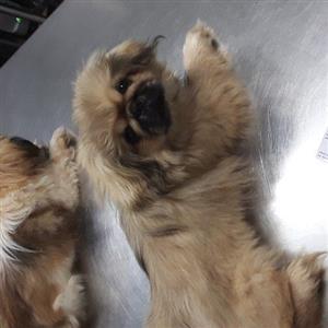 pekingese puppies
