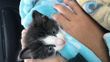Blue Eyed Kitten for Sale