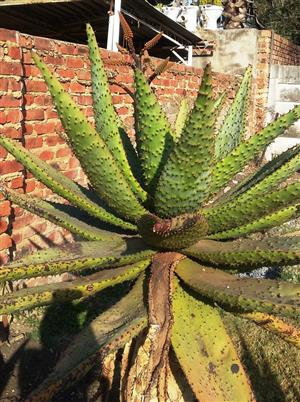 Aloe Marlothii (Mountain Aloe) for sale
