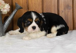 Cavalier King Charles Puppies Fully Vaccinated.