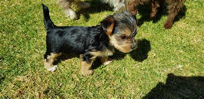 Exotic and traditional yorkie puppies