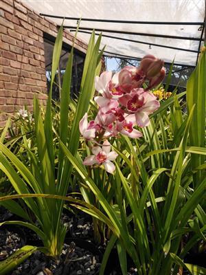 Mini Orchid Nursery for sale