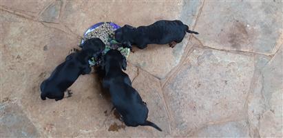 Worshond puppies