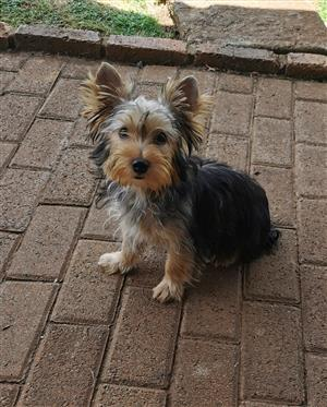 Small standard size Female Yorkie puppy