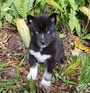Pure Breed Siberian Husky puppies