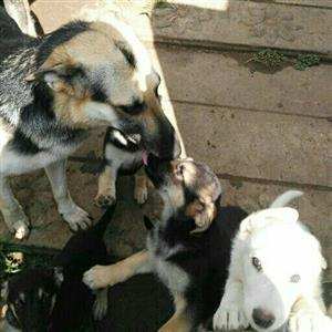 Pure breed German shepherds ready for new home