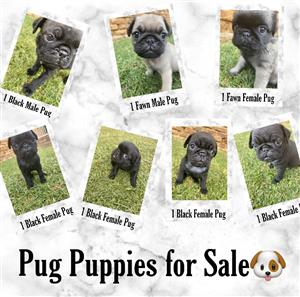 Pug Puppies for Sale🐶