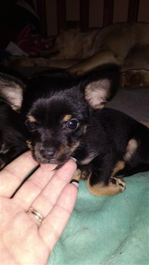 Chorkie boy (Chihuahua Yorkie X)