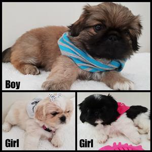 3 Cute Pekingese puppies for sale. Ready to go next week.