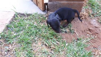 Daschund Puppies for sale.