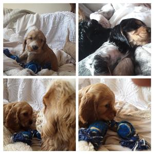 Beautiful cocker spaniel pups 4 sale,inoculated,dewormed,checked by vet,7 weeks old