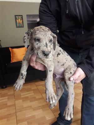 Merlequin Great Dane puppie
