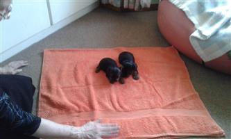 Yorky puppies