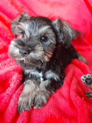 Miniature Schnauzer Female Puppies